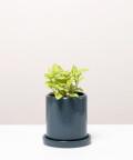 Fitonia Zielona, w szarej doniczce ceramicznej z podstawką