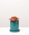Fitonia Różowa, w turkusowej doniczce ceramicznej z podstawką