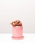 Fitonia Różowa, w różowej doniczce ceramicznej z podstawką