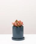 Fitonia Różowa, w szarej doniczce ceramicznej z podstawką