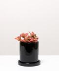 Fitonia Różowa, w czarnej doniczce ceramicznej z podstawką
