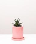 Haworsja, w różowej doniczce ceramicznej z podstawką