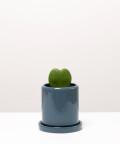Hoja Kerri, w szarej doniczce ceramicznej z podstawką