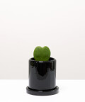 Hoja Kerri, w czarnej doniczce ceramicznej z podstawką