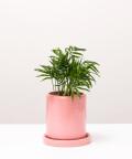 Chamedora Wytworna Mini, w różowej doniczce ceramicznej z podstawką