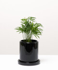Chamedora Wytworna Mini, w czarnej doniczce ceramicznej z podstawką