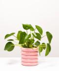 Pilea Peperomiowata, w doniczce różowej ceramicznej