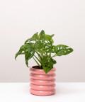 Monstera Perforowana, w doniczce różowej ceramicznej