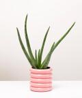 Aloes Zwyczajny, w doniczce różowej ceramicznej