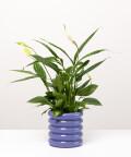 Skrzydłokwiat, w doniczce fioletowej ceramicznej