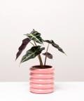 Alokazja, w doniczce różowej ceramicznej