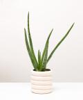 Aloes Zwyczajny, w doniczce kremowej ceramicznej