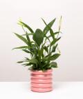 Skrzydłokwiat, w doniczce różowej ceramicznej