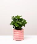 Coffea Arabica, Kawa Arabska w doniczce różowej ceramicznej