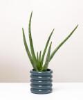 Aloes Zwyczajny, w doniczce szarej ceramicznej