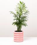 Chamedora Wytworna, w doniczce różowej ceramicznej