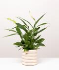 Skrzydłokwiat, w doniczce kremowej ceramicznej