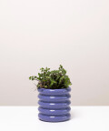 Smużyna Płożąca, w doniczce fioletowej ceramicznej