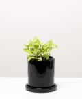 Fitonia Zielona, w czarnej doniczce ceramicznej z podstawką