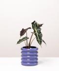 Alokazja, w doniczce fioletowej ceramicznej