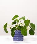 Pilea Peperomiowata, w doniczce fioletowej ceramicznej