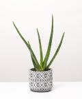Aloes Zwyczajny, w doniczce ciemnej szarej etnicznej