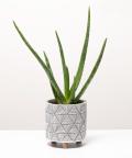 Aloes Zwyczajny, w doniczce walec na nóżkach