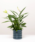 Skrzydłokwiat, w doniczce szarej ceramicznej