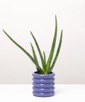 Aloes Zwyczajny, w doniczce fioletowej ceramicznej