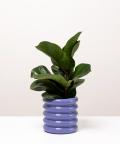 Figowiec Dębolistny, w doniczce fioletowej ceramicznej