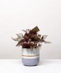 Begonia Królewska, w dwukolorowej szarej doniczce z paskiem