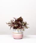 Begonia Królewska, w dwukolorowej różowej doniczce z paskiem