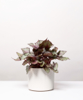 Begonia Królewska, w kremowej doniczce walec