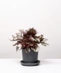 Begonia Królewska, w kamiennej doniczce ceramicznej