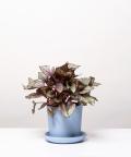 Begonia Królewska, lazurowej doniczce ceramicznej