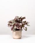 Begonia Królewska, w kremowym ceramicznym walcu