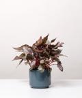 Begonia Królewska, w szarym ceramicznym walcu