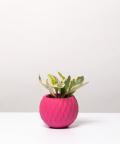Peperomia Kluzjolistna, w różowej kuli betonowej