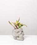 Peperomia Kluzjolistna, w szarej czaszce betonowej