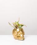 Peperomia Kluzjolistna, w złotej czaszce betonowej
