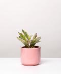 Peperomia Kluzjolistna, w różowym ceramicznym walcu