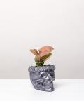 Syngonium Neon Robusta, stalowej czaszce flower