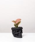 Syngonium Neon Robusta, w czarnej czaszce flower