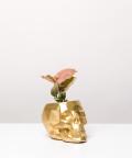 Syngonium Neon Robusta, w złotej czaszce