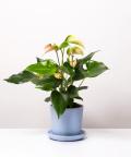Anturium, w niebieskiej doniczce ceramicznej