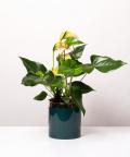 Anturium, w zielonym walcu ceramicznym