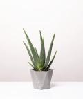 Aloes Zwyczajny, w szarej doniczce betonowej hex