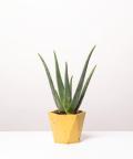 Aloes Zwyczajny, w żółtej doniczce betonowej hex