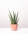 Aloes Zwyczajny, w różowej doniczce betonowej hex
