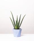 Aloes Zwyczajny, w niebieskiej doniczce betonowej hex